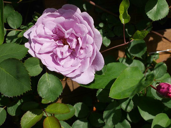 レイニーブルー(Rainy Blue)の花が咲いた。ツルバラ。2021年-016.jpg