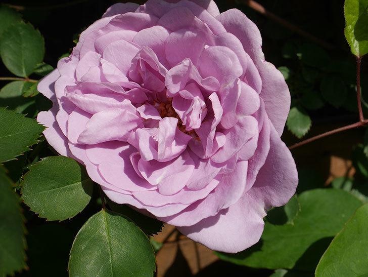 レイニーブルー(Rainy Blue)の花が咲いた。ツルバラ。2021年-017.jpg