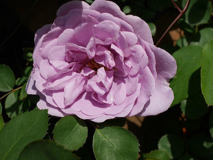 レイニーブルー(Rainy Blue)の花が咲いた。ツルバラ。2021年-018.jpg