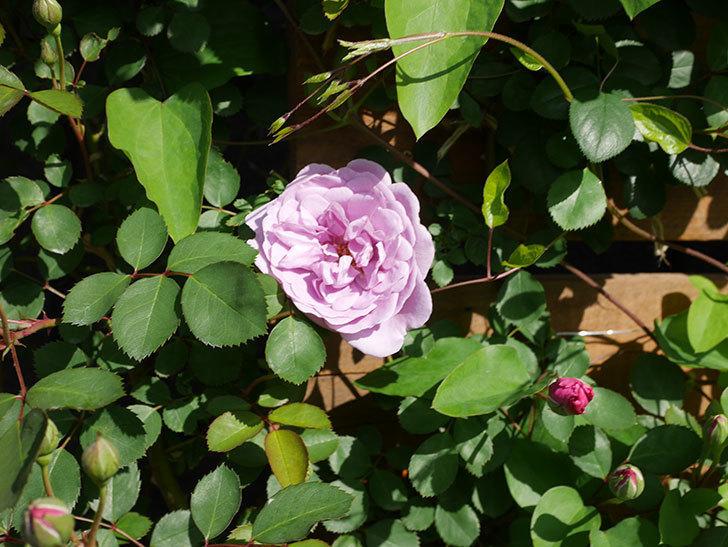 レイニーブルー(Rainy Blue)の花が咲いた。ツルバラ。2021年-019.jpg