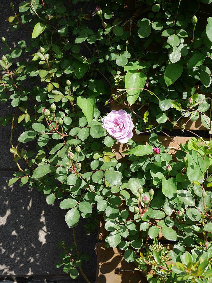 レイニーブルー(Rainy Blue)の花が咲いた。ツルバラ。2021年-020.jpg