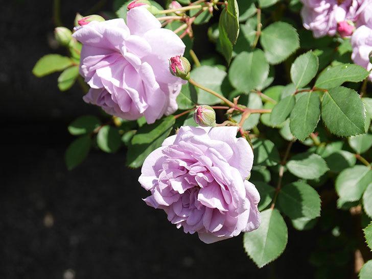 レイニーブルー(Rainy Blue)の花が増えてきた。ツルバラ。2021年-001.jpg