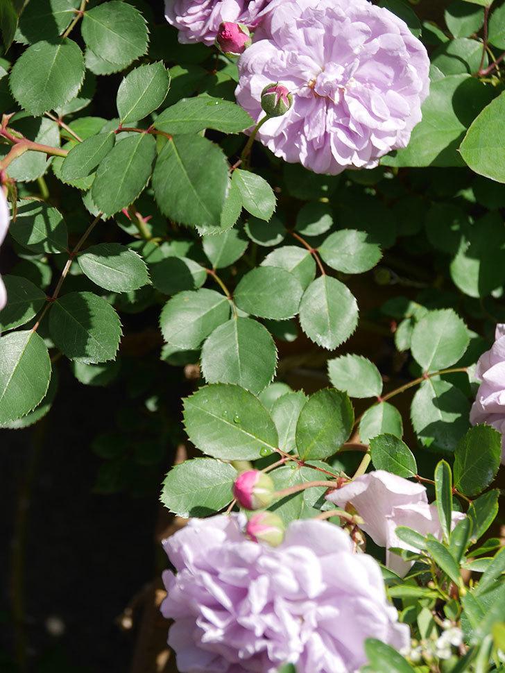 レイニーブルー(Rainy Blue)の花が増えてきた。ツルバラ。2021年-003.jpg