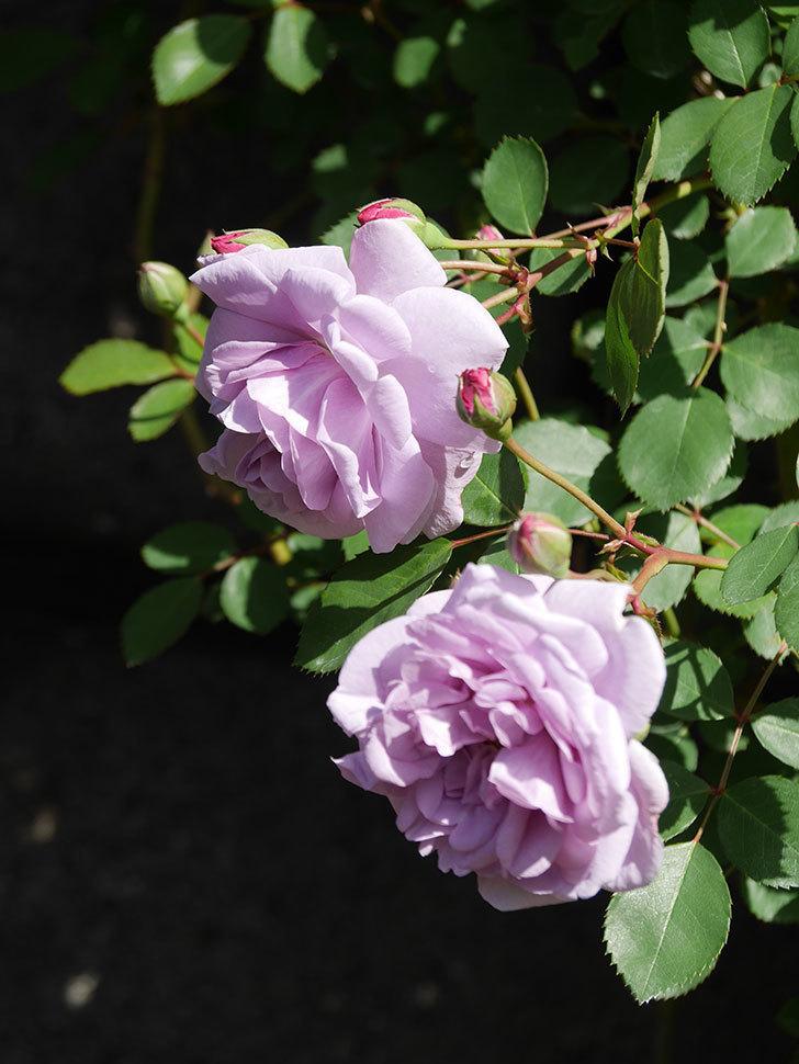 レイニーブルー(Rainy Blue)の花が増えてきた。ツルバラ。2021年-004.jpg