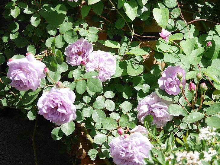レイニーブルー(Rainy Blue)の花が増えてきた。ツルバラ。2021年-006.jpg
