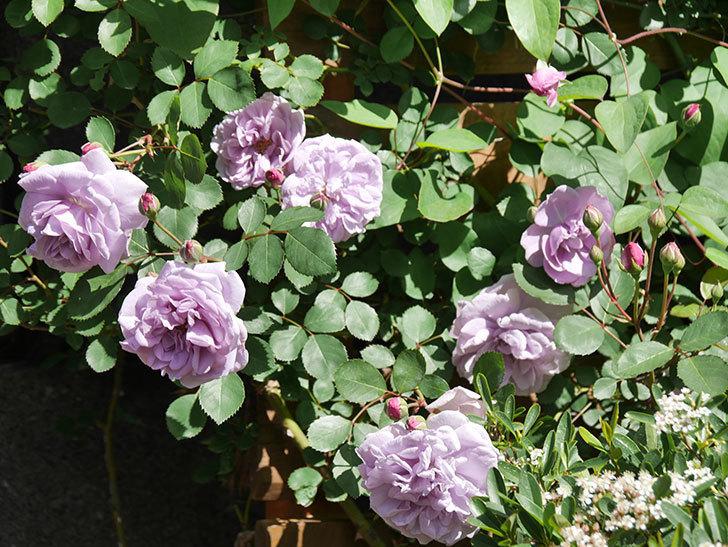 レイニーブルー(Rainy Blue)の花が増えてきた。ツルバラ。2021年-007.jpg