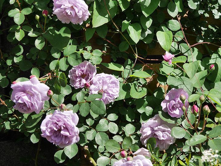 レイニーブルー(Rainy Blue)の花が増えてきた。ツルバラ。2021年-008.jpg