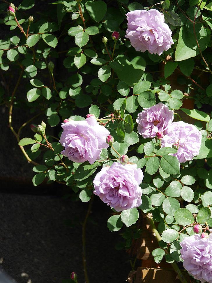レイニーブルー(Rainy Blue)の花が増えてきた。ツルバラ。2021年-009.jpg