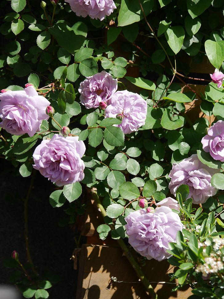 レイニーブルー(Rainy Blue)の花が増えてきた。ツルバラ。2021年-010.jpg