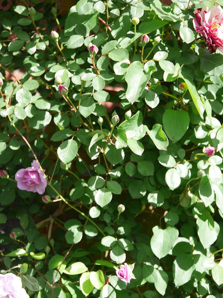 レイニーブルー(Rainy Blue)の花が増えてきた。ツルバラ。2021年-012.jpg