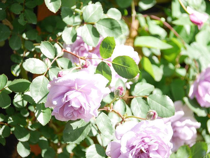 レイニーブルー(Rainy Blue)の花が増えてきた。ツルバラ。2021年-013.jpg