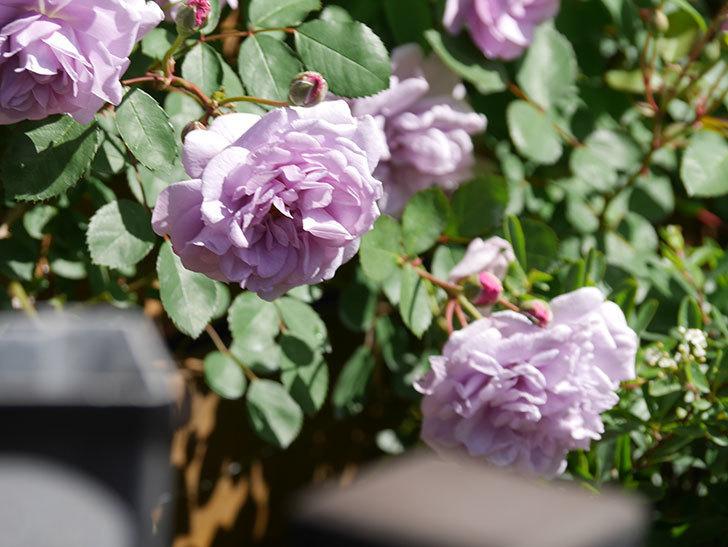 レイニーブルー(Rainy Blue)の花が増えてきた。ツルバラ。2021年-014.jpg