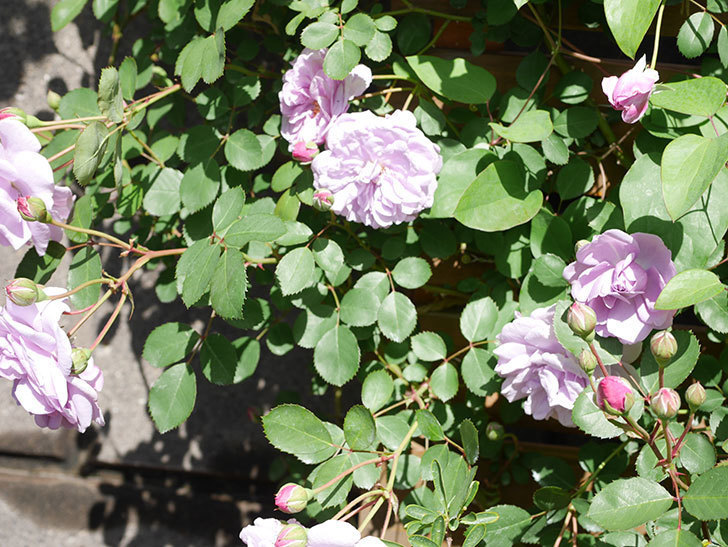 レイニーブルー(Rainy Blue)の花が増えてきた。ツルバラ。2021年-015.jpg