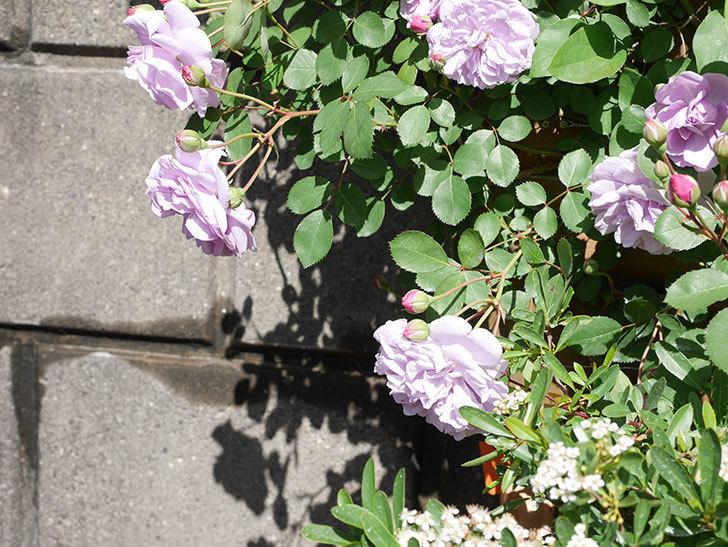 レイニーブルー(Rainy Blue)の花が増えてきた。ツルバラ。2021年-016.jpg