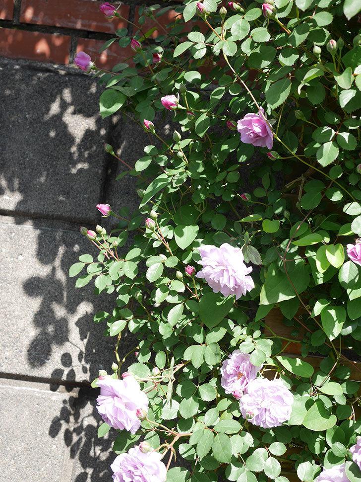 レイニーブルー(Rainy Blue)の花が増えてきた。ツルバラ。2021年-017.jpg