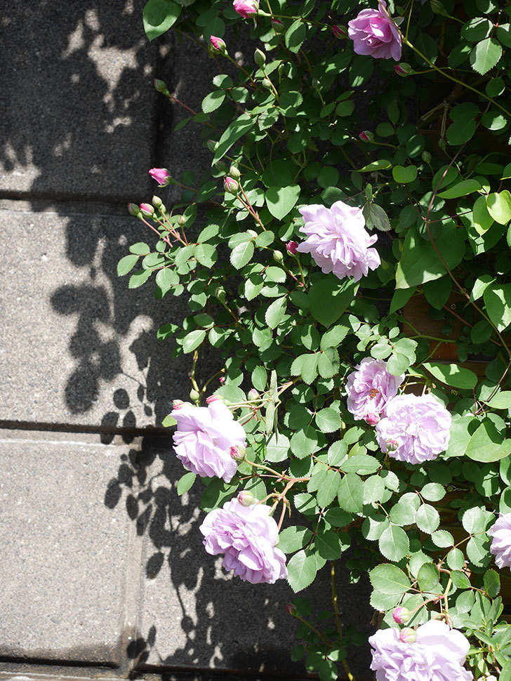 レイニーブルー(Rainy Blue)の花が増えてきた。ツルバラ。2021年-018.jpg