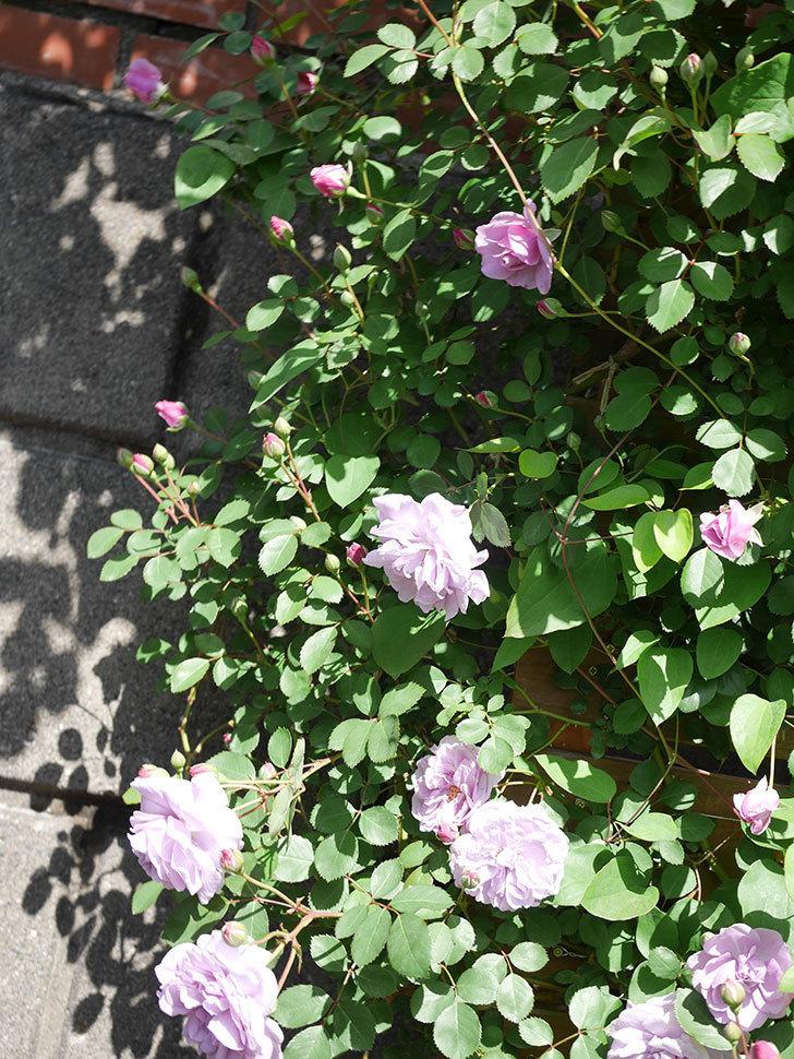 レイニーブルー(Rainy Blue)の花が増えてきた。ツルバラ。2021年-019.jpg
