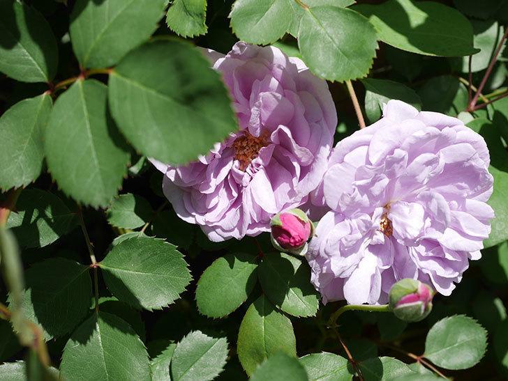 レイニーブルー(Rainy Blue)の花が増えてきた。ツルバラ。2021年-021.jpg