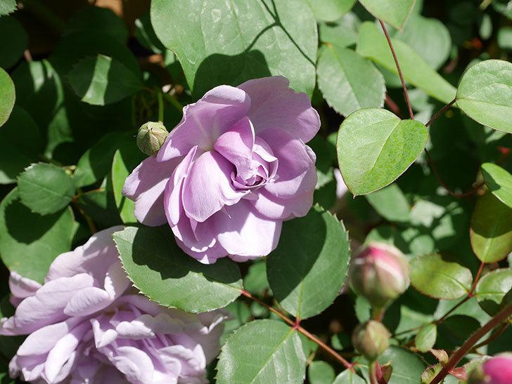 レイニーブルー(Rainy Blue)の花が増えてきた。ツルバラ。2021年-022.jpg