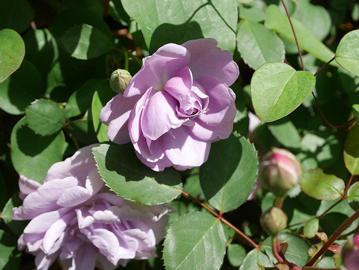 レイニーブルー(Rainy Blue)の花が増えてきた。ツルバラ。2021年-023.jpg