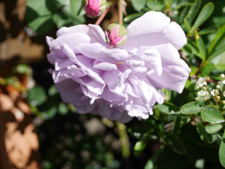 レイニーブルー(Rainy Blue)の花が増えてきた。ツルバラ。2021年-024.jpg