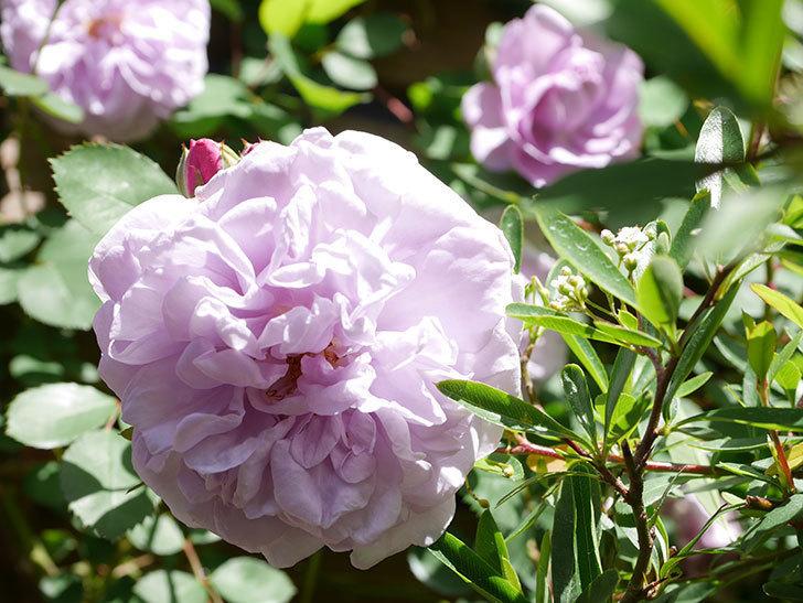 レイニーブルー(Rainy Blue)の花が増えてきた。ツルバラ。2021年-025.jpg