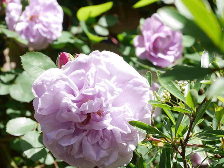 レイニーブルー(Rainy Blue)の花が増えてきた。ツルバラ。2021年-026.jpg