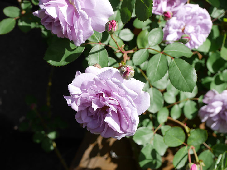 レイニーブルー(Rainy Blue)の花が増えてきた。ツルバラ。2021年-027.jpg