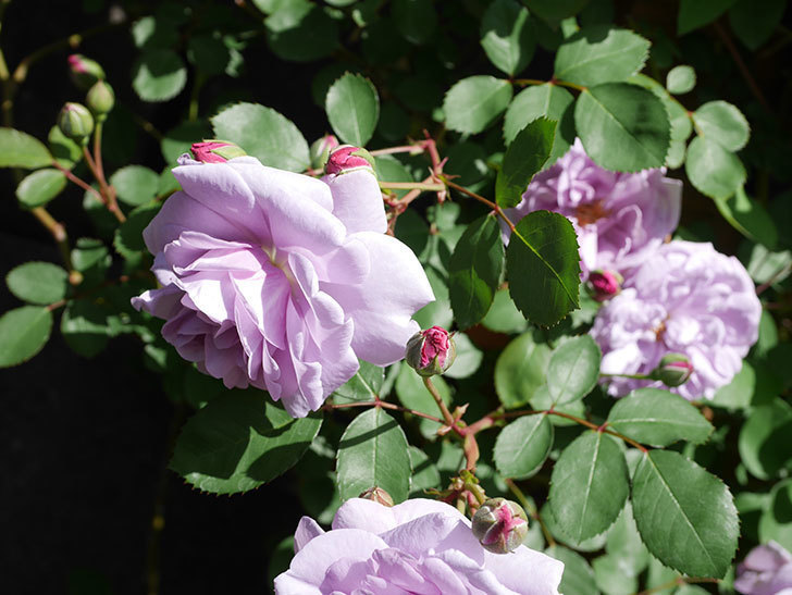 レイニーブルー(Rainy Blue)の花が増えてきた。ツルバラ。2021年-028.jpg