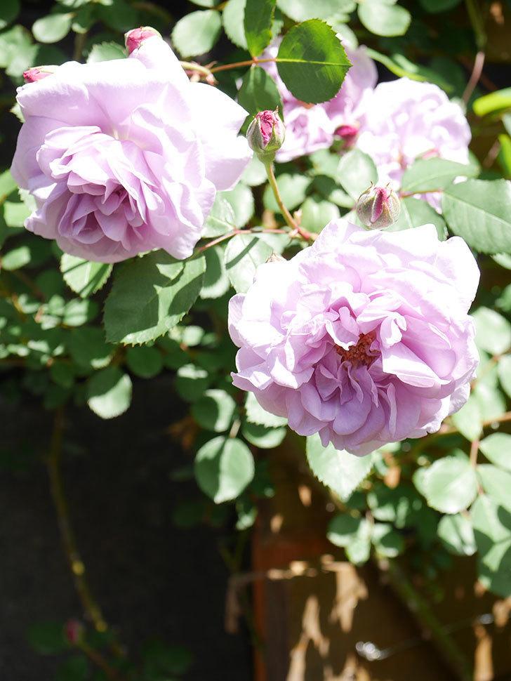 レイニーブルー(Rainy Blue)の花が増えてきた。ツルバラ。2021年-029.jpg