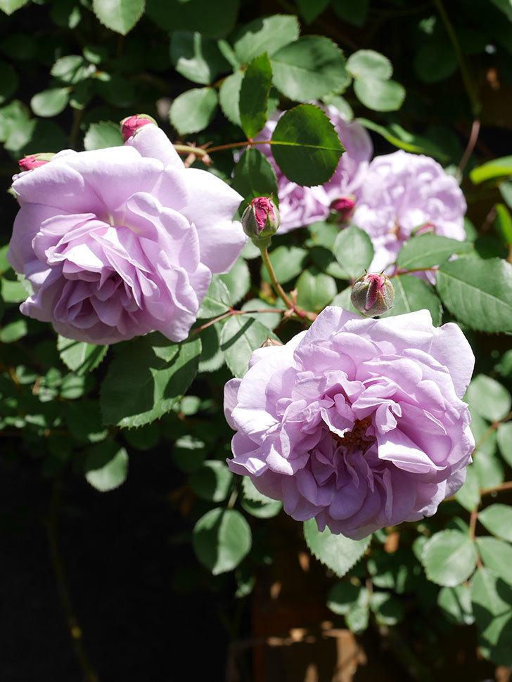 レイニーブルー(Rainy Blue)の花が増えてきた。ツルバラ。2021年-030.jpg