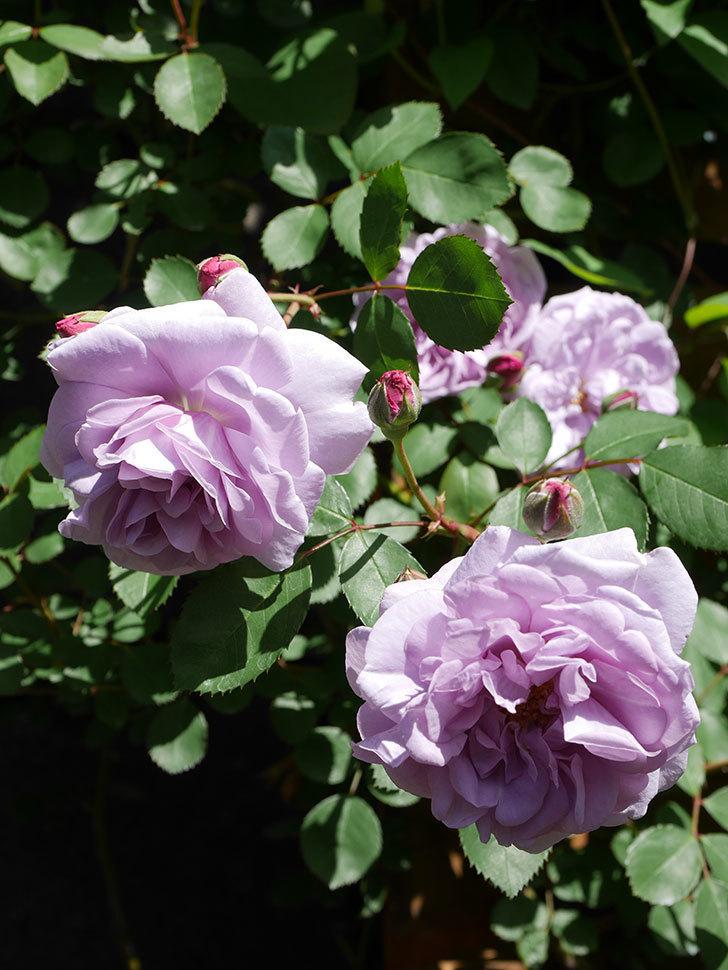 レイニーブルー(Rainy Blue)の花が増えてきた。ツルバラ。2021年-031.jpg