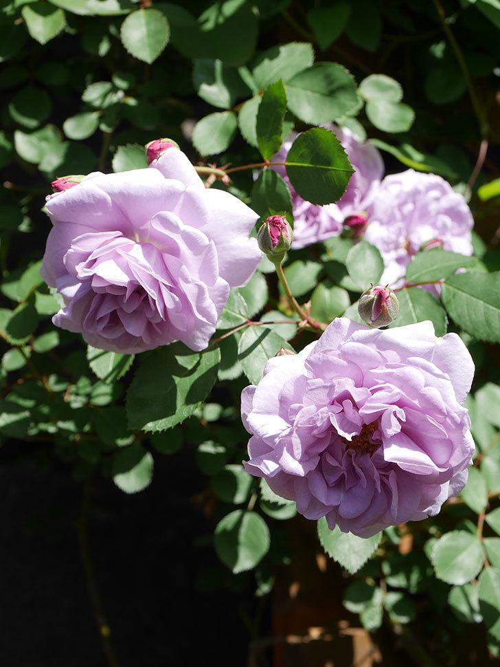 レイニーブルー(Rainy Blue)の花が増えてきた。ツルバラ。2021年-032.jpg