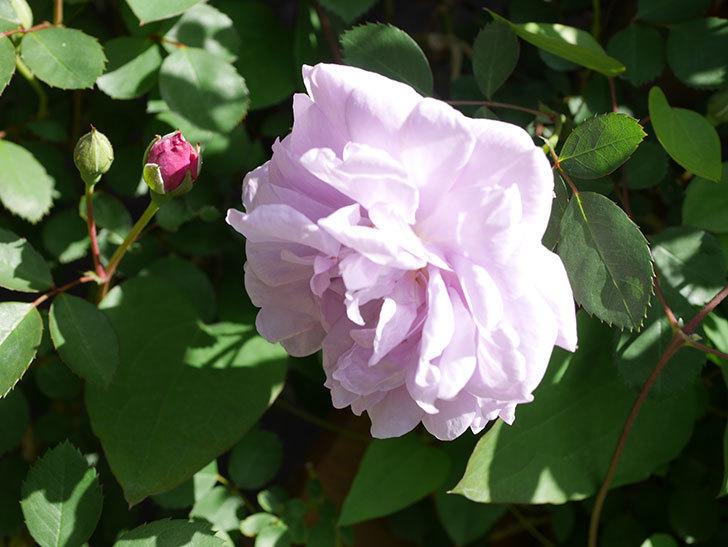 レイニーブルー(Rainy Blue)の花が増えてきた。ツルバラ。2021年-033.jpg