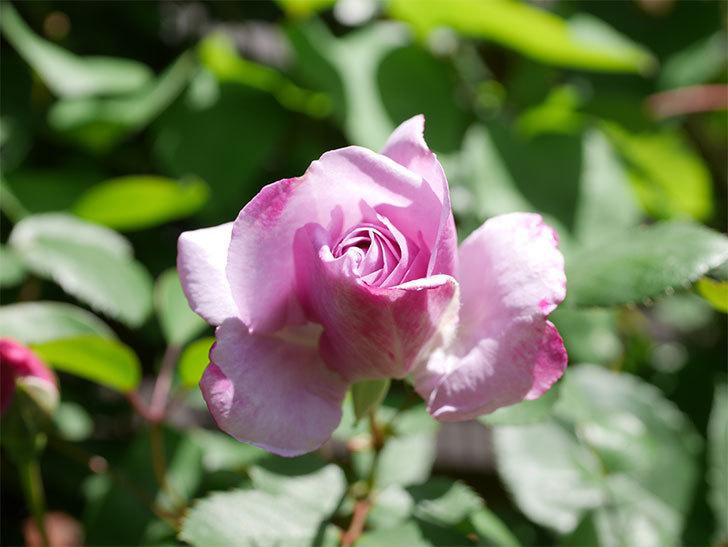 レイニーブルー(Rainy Blue)の花が増えてきた。ツルバラ。2021年-034.jpg