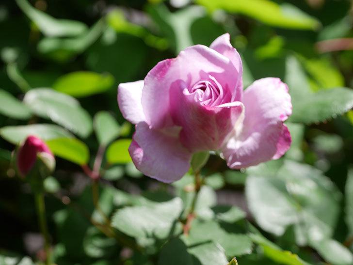 レイニーブルー(Rainy Blue)の花が増えてきた。ツルバラ。2021年-035.jpg