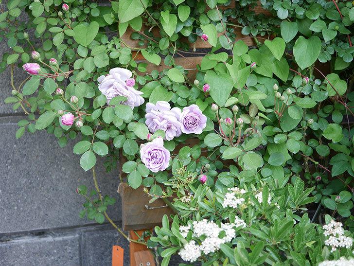 レイニーブルー(Rainy Blue)の花が少しずつ増えてきた。ツルバラ。2021年-001.jpg