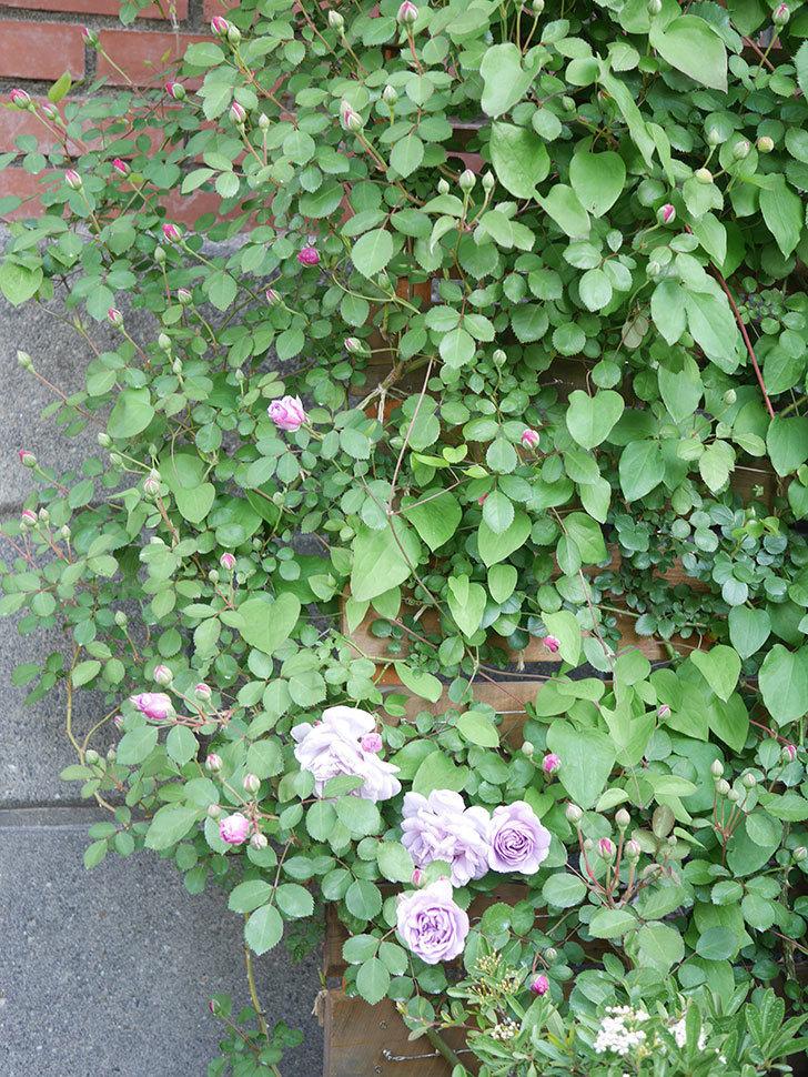 レイニーブルー(Rainy Blue)の花が少しずつ増えてきた。ツルバラ。2021年-003.jpg