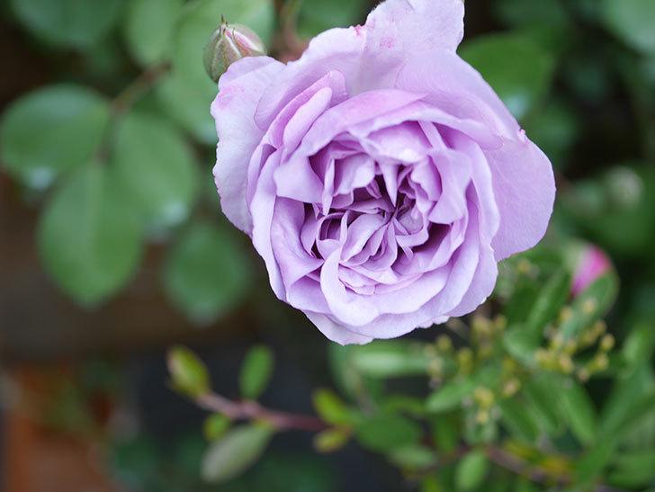 レイニーブルー(Rainy Blue)の花が少しずつ増えてきた。ツルバラ。2021年-004.jpg