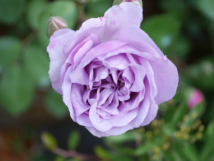 レイニーブルー(Rainy Blue)の花が少しずつ増えてきた。ツルバラ。2021年-005.jpg
