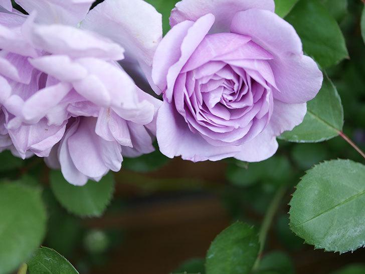 レイニーブルー(Rainy Blue)の花が少しずつ増えてきた。ツルバラ。2021年-006.jpg