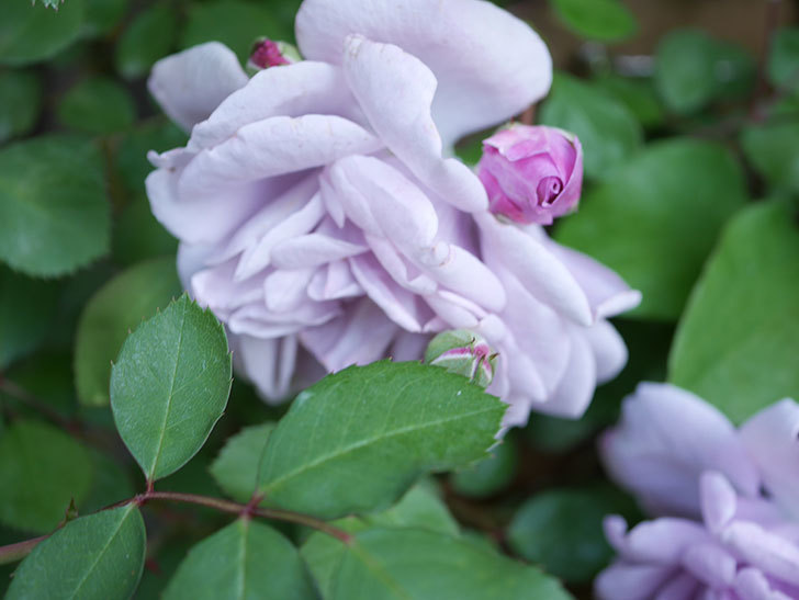 レイニーブルー(Rainy Blue)の花が少しずつ増えてきた。ツルバラ。2021年-008.jpg