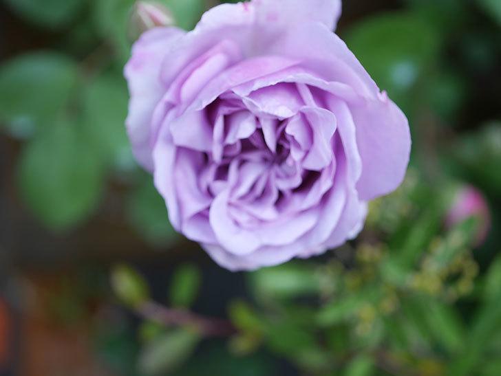 レイニーブルー(Rainy Blue)の花が少しずつ増えてきた。ツルバラ。2021年-009.jpg