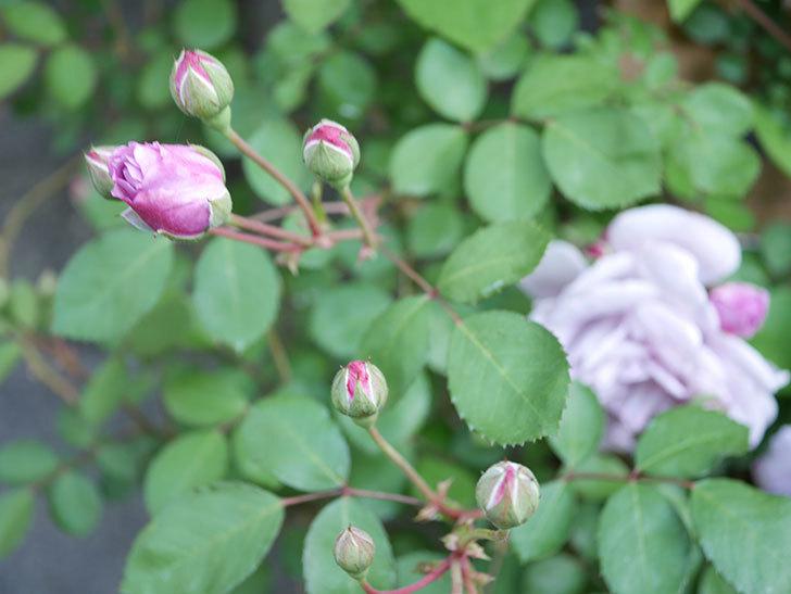 レイニーブルー(Rainy Blue)の花が少しずつ増えてきた。ツルバラ。2021年-010.jpg