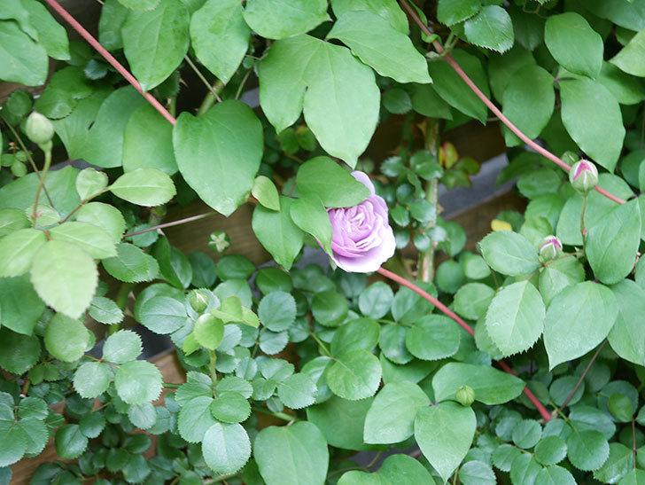 レイニーブルー(Rainy Blue)の花が少しずつ増えてきた。ツルバラ。2021年-011.jpg