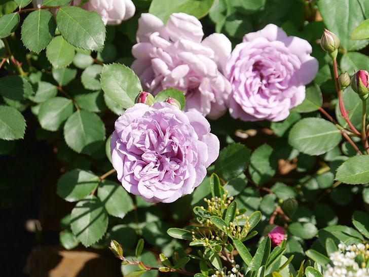 レイニーブルー(Rainy Blue)の花が少しずつ増えてきた。ツルバラ。2021年-012.jpg