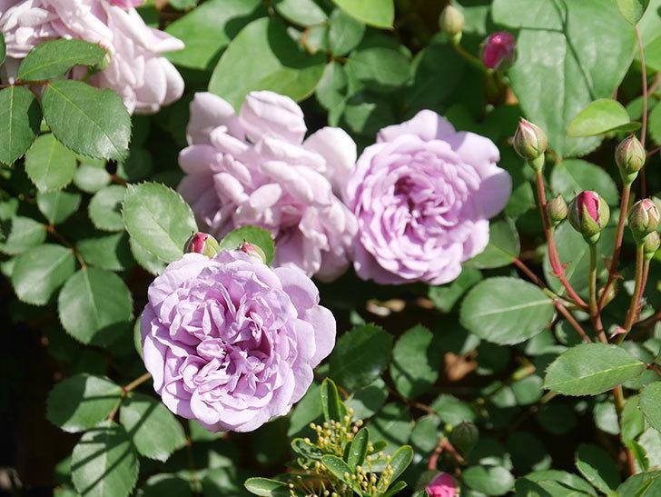 レイニーブルー(Rainy Blue)の花が少しずつ増えてきた。ツルバラ。2021年-013.jpg