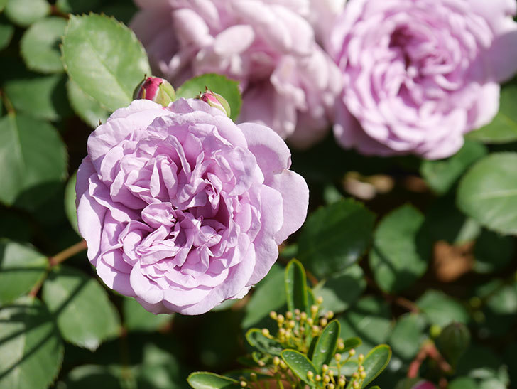 レイニーブルー(Rainy Blue)の花が少しずつ増えてきた。ツルバラ。2021年-014.jpg