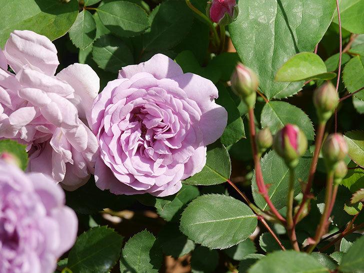 レイニーブルー(Rainy Blue)の花が少しずつ増えてきた。ツルバラ。2021年-015.jpg
