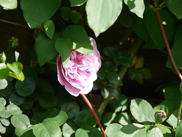 レイニーブルー(Rainy Blue)の花が少しずつ増えてきた。ツルバラ。2021年-016.jpg